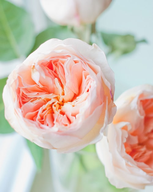 a few thoughts on my garden roses - Garden Rose And Peony